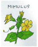 20.ミムラス