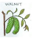 33.ウォルナット